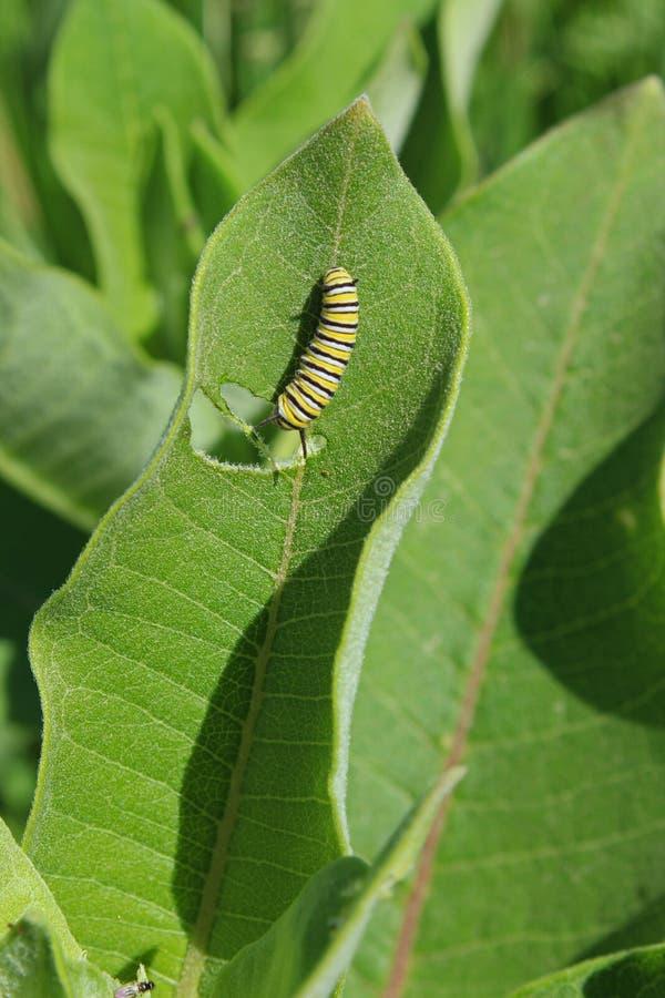 Oruga del monarca en la hoja verde del milkweed foto de archivo
