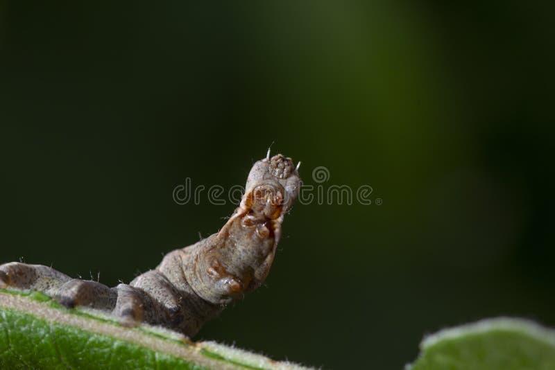Oruga prominente de la polilla del guijarro, ziczac de Notodonta, caminando, comiendo a lo largo de una hoja del sauce durante ju imagen de archivo