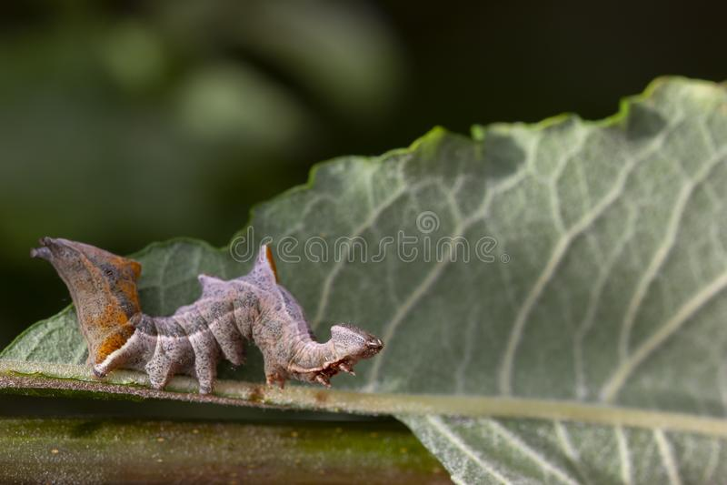 Oruga prominente de la polilla del guijarro, ziczac de Notodonta, caminando, comiendo a lo largo de una hoja del sauce durante ju fotos de archivo
