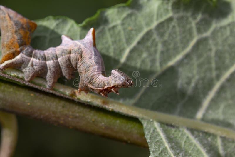 Oruga prominente de la polilla del guijarro, ziczac de Notodonta, caminando, comiendo a lo largo de una hoja del sauce durante ju imagen de archivo libre de regalías