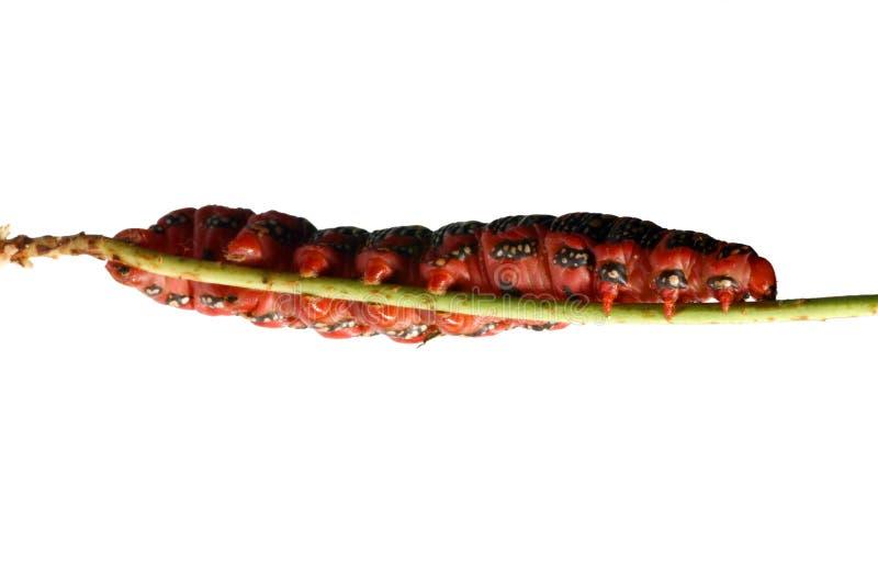 Oruga roja gorda foto de archivo libre de regalías