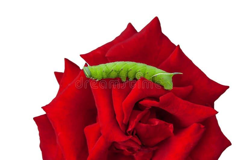 Oruga verde de una polilla de halcón del álamo en la rosa macra del rojo de la flor aislada en el fondo blanco fotografía de archivo