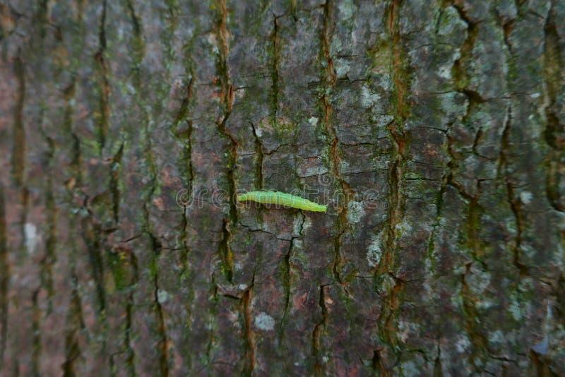 Oruga verde que se arrastra en corteza de árbol imágenes de archivo libres de regalías
