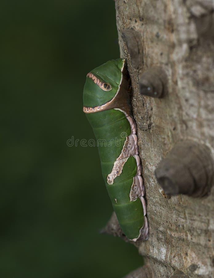 Oruga verde vista en Badlapur imagenes de archivo