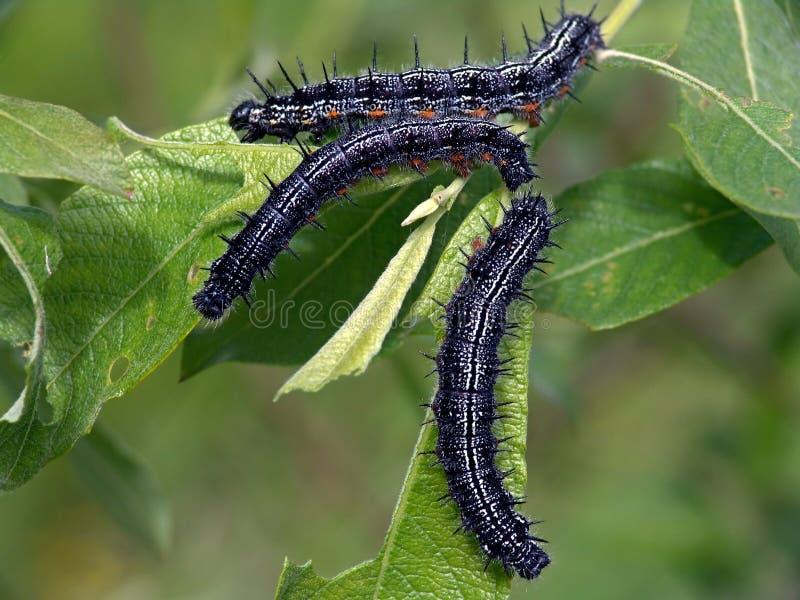 Orugas de la mariposa del Nymphalidae de la familia. imágenes de archivo libres de regalías