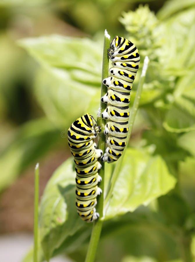 Orugas del monarca fotos de archivo