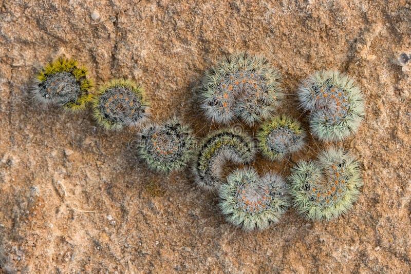 Orugas peludas en la forma de una flor en la arena foto de archivo