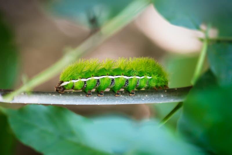 Orugas verdes imagen de archivo libre de regalías