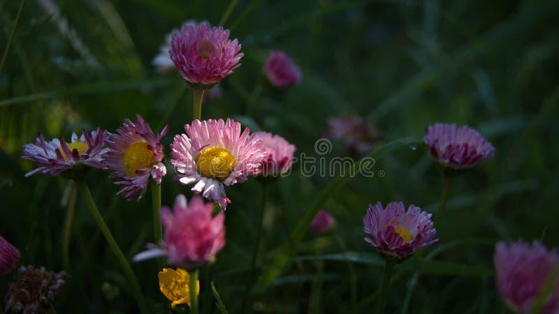 Orvalho da manh? nas flores do mios?tis iluminadas pelos primeiros raios do sol fotos de stock