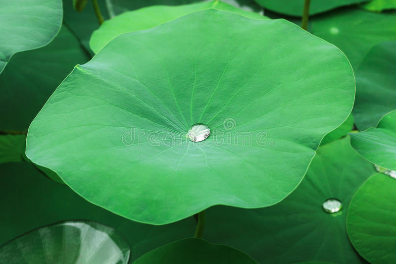 orvalho nas folhas verdes dos lótus fotos de stock royalty free