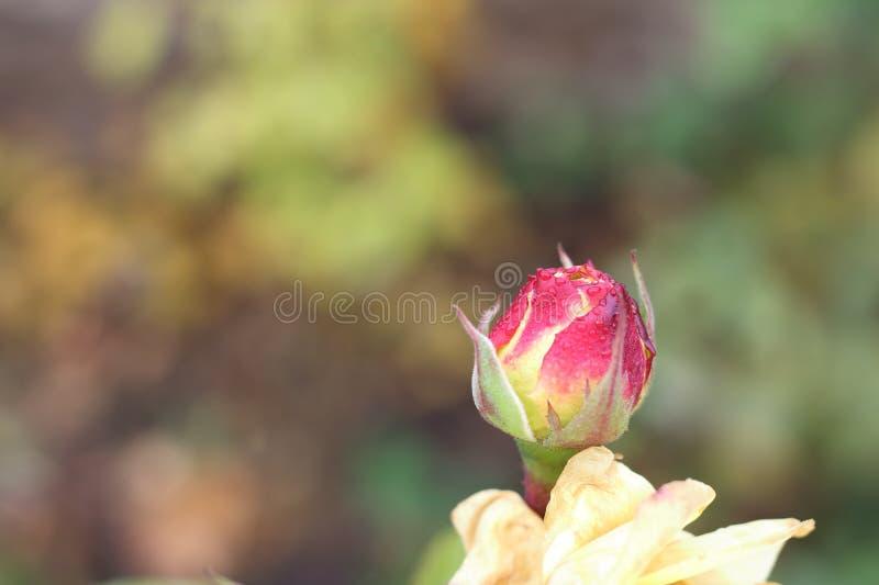 Orvalho no botão cor-de-rosa imagens de stock royalty free