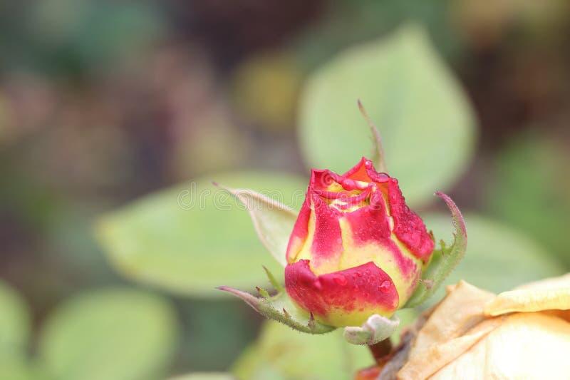 Orvalho no botão cor-de-rosa de florescência fotografia de stock royalty free