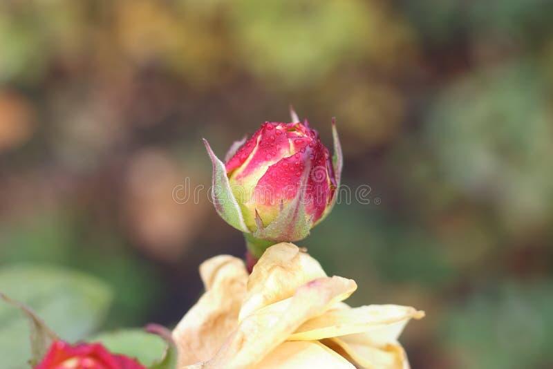 Orvalho no botão da rosa do rosa fotografia de stock royalty free
