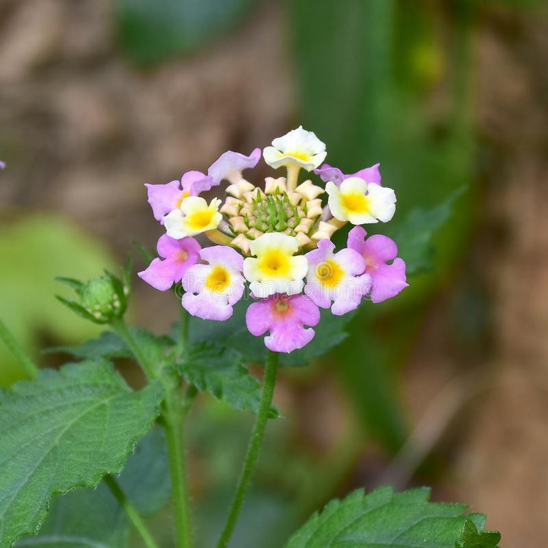 Orwild-sábio de Tickberry, flor do camara do Lantana imagem de stock royalty free