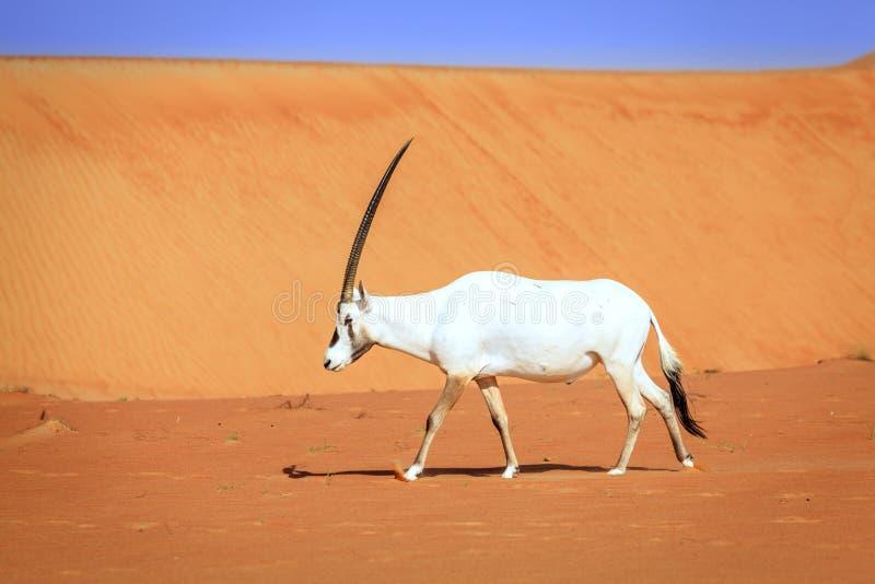 Oryx árabe imagem de stock