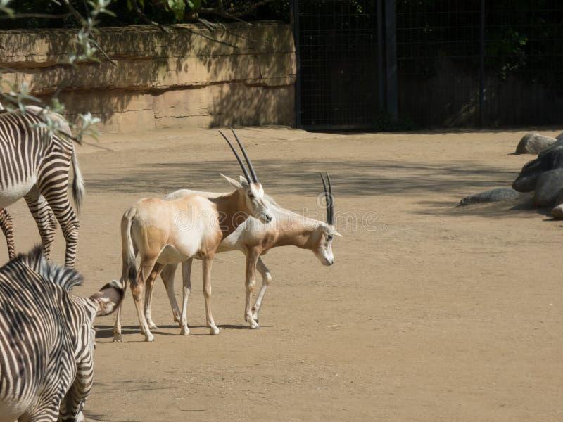Oryx árabe con las cebras en el parque zoológico imagen de archivo