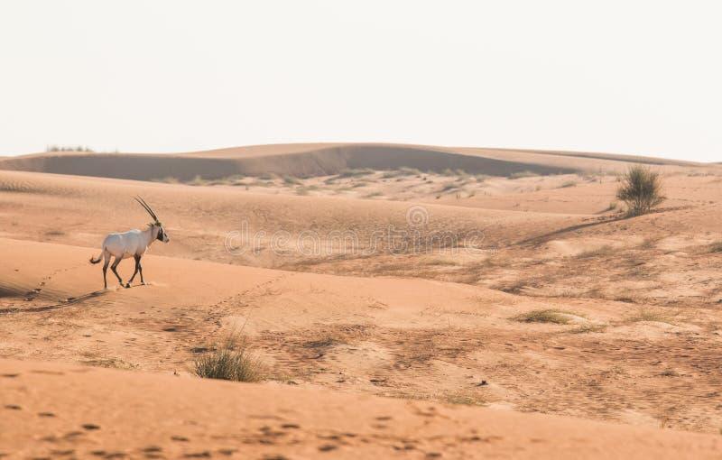 Oryx árabe en el desierto después de la salida del sol Dubai, United Arab Emirates fotos de archivo libres de regalías