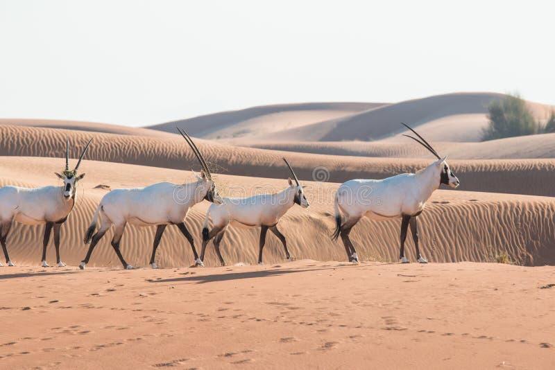 Oryx árabe en el desierto después de la salida del sol Dubai, United Arab Emirates foto de archivo libre de regalías