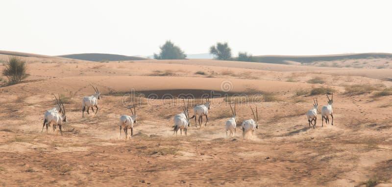 Oryx árabe en el desierto después de la salida del sol Dubai, United Arab Emirates imágenes de archivo libres de regalías