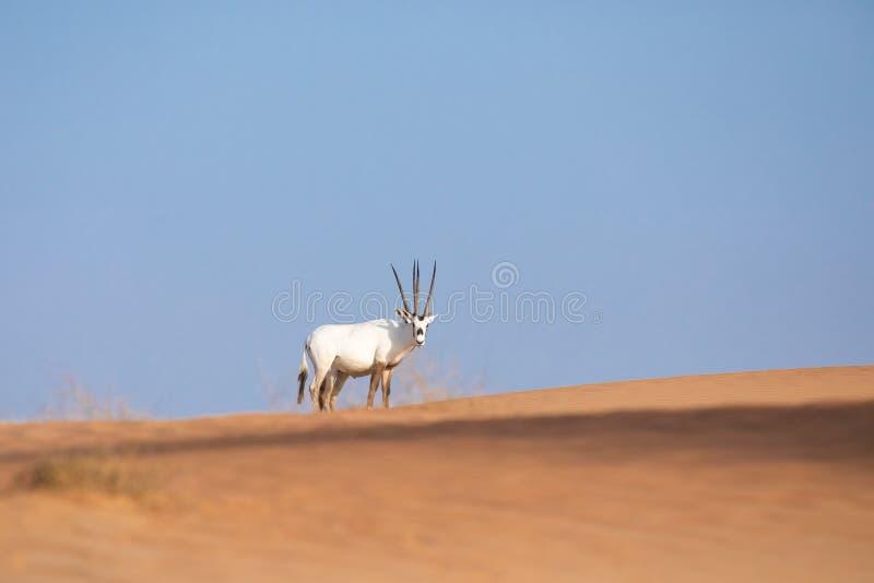 Oryx árabe en peligro en paisaje del desierto fotografía de archivo libre de regalías