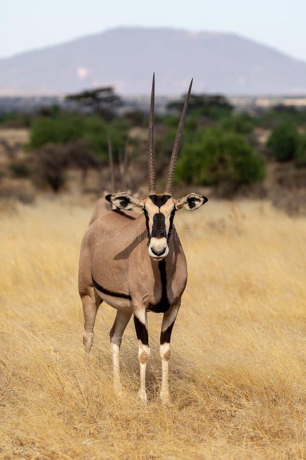 Oryx, Κένυα, Αφρική στοκ φωτογραφίες με δικαίωμα ελεύθερης χρήσης