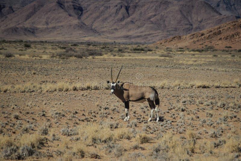 Oryx ή αντιλόπη με τα μακριά κέρατα στην έρημο Namib, Ναμίμπια στοκ εικόνες