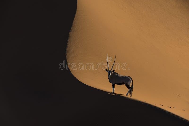 Oryx πάνω από τους αμμόλοφους στοκ φωτογραφίες με δικαίωμα ελεύθερης χρήσης