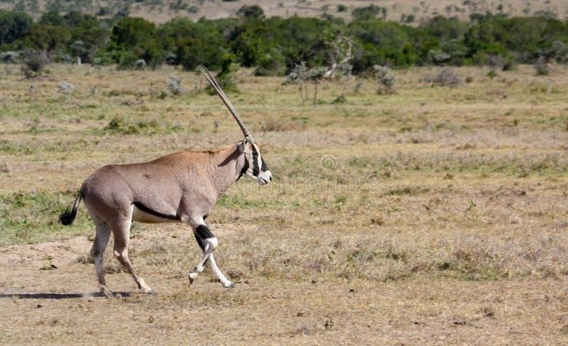 Oryx πέρα από μια πεδιάδα στοκ εικόνες με δικαίωμα ελεύθερης χρήσης