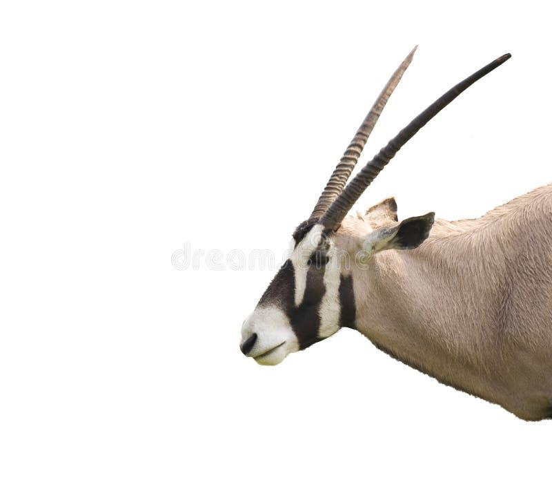 oryx στοκ φωτογραφία