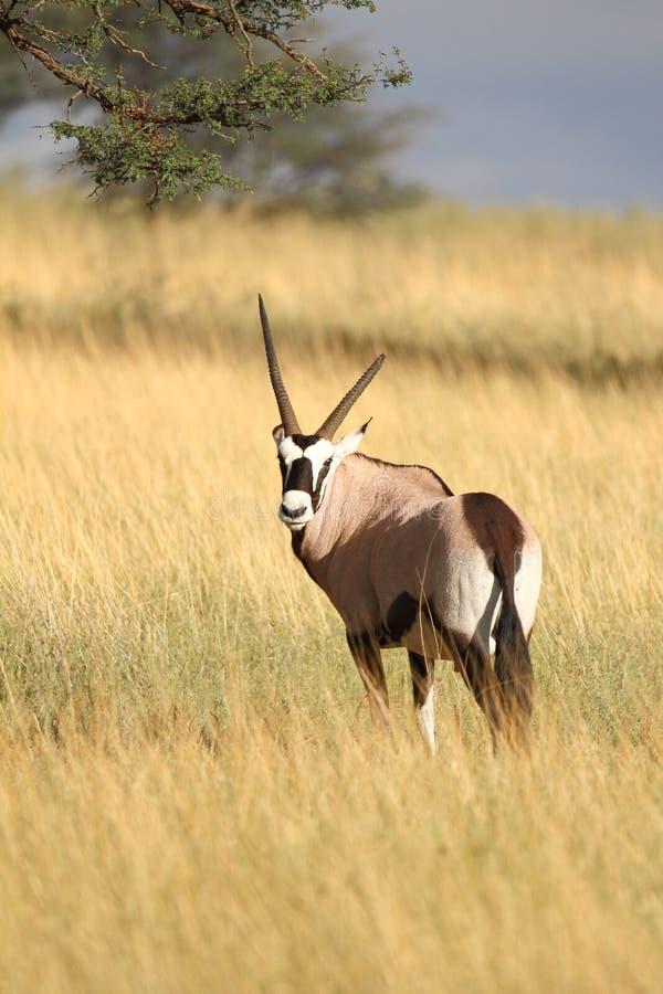 Oryx fotografia stock