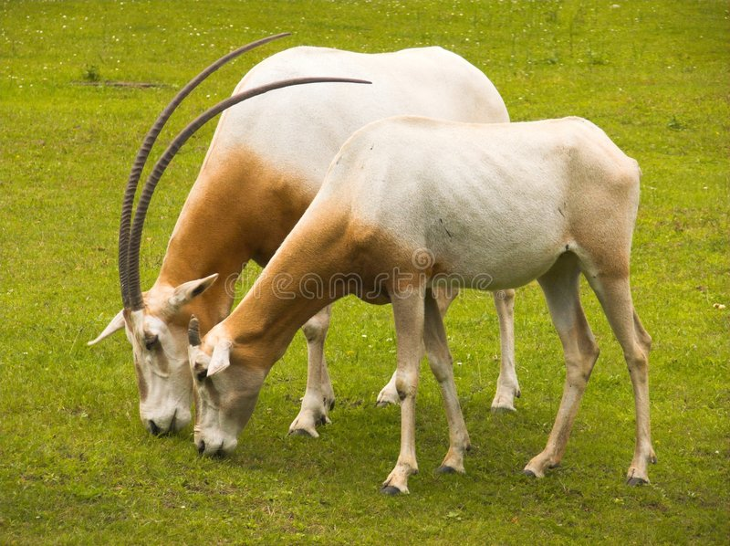 Download Oryx stock image. Image of brown, tropical, dammah, ruminant - 2775117
