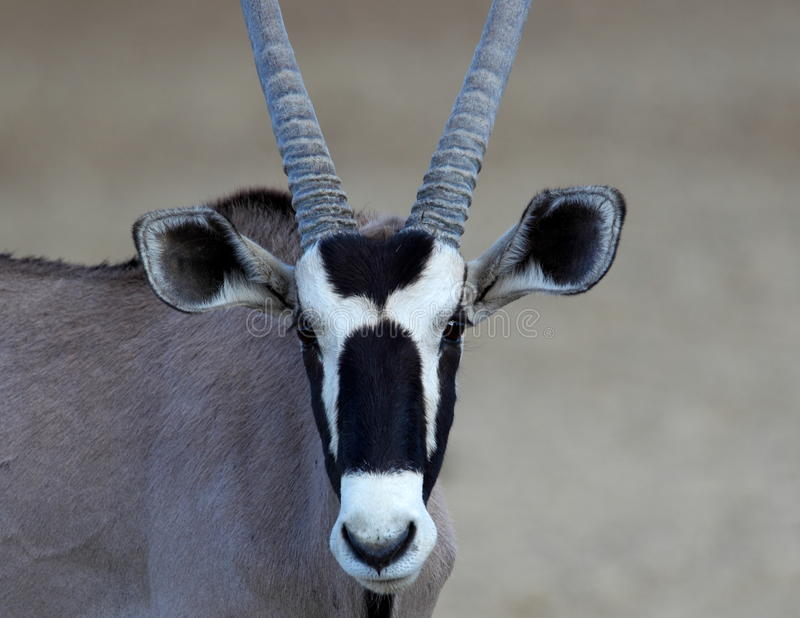 Oryx photographie stock