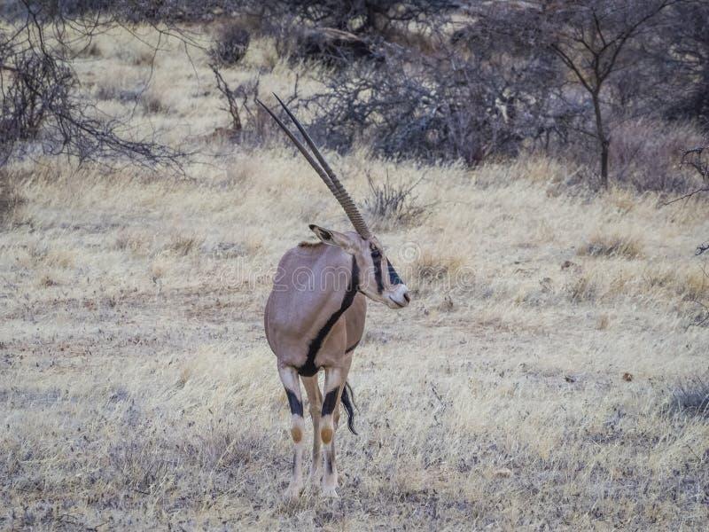 Oryx foto de stock