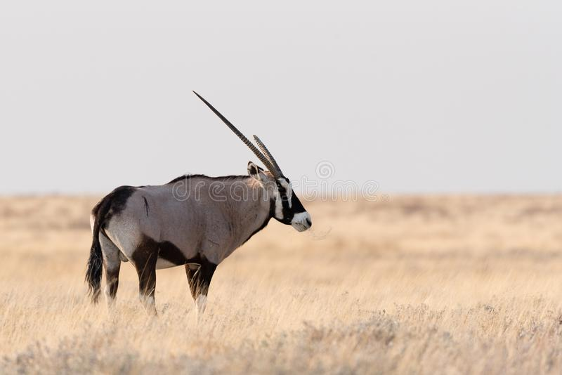 Oryx foto de archivo