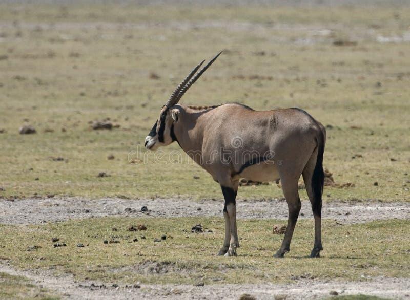 Oryx africain est, Gemsbok, beisa d'oryx photo stock