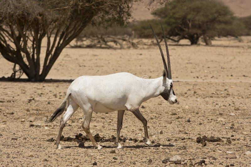 Oryx antelope stock images