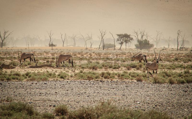 Oryx or antelope with long horns in the Namib Desert, Namibia royalty free stock image