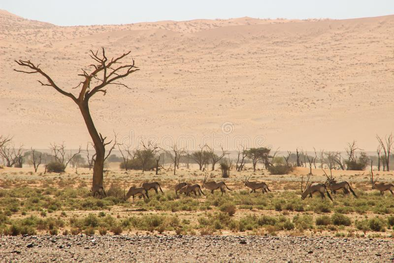 Oryx or antelope with long horns in the Namib Desert, Namibia stock photos