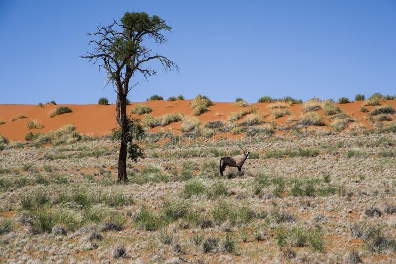 Oryx Antelope and orange Dunes, Namibia royalty free stock photography