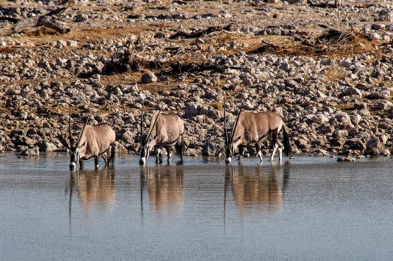 Oryx antelopes drinking at a waterhole in Etosha Park in Namibia stock photography