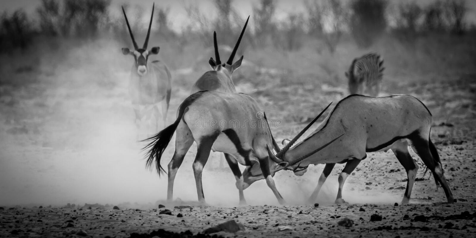 Oryx Antelopes in a fight stock image