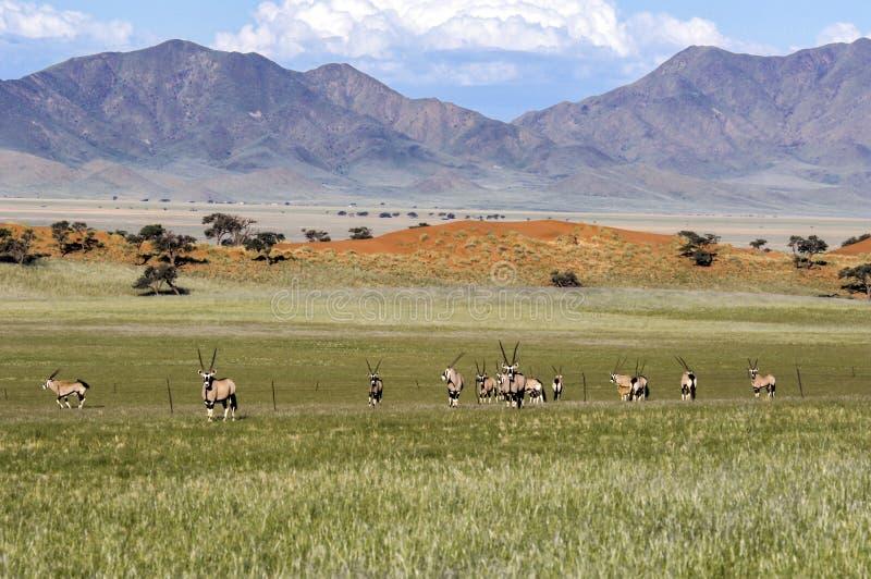Oryx antelopes in Wolwedans, Namibia stock image