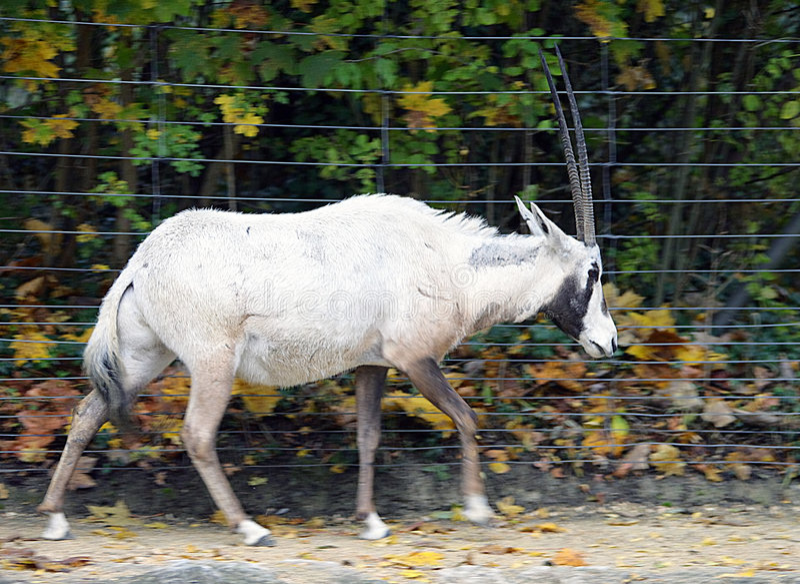 Oryx Arabe 2 image stock