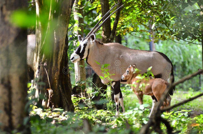 Download Oryx with baby stock image. Image of natural, desert - 34943515