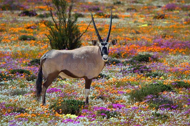 Oryx in bloemen stock foto's