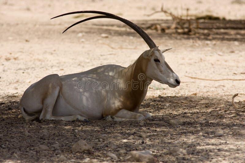 oryx bułat obrazy royalty free