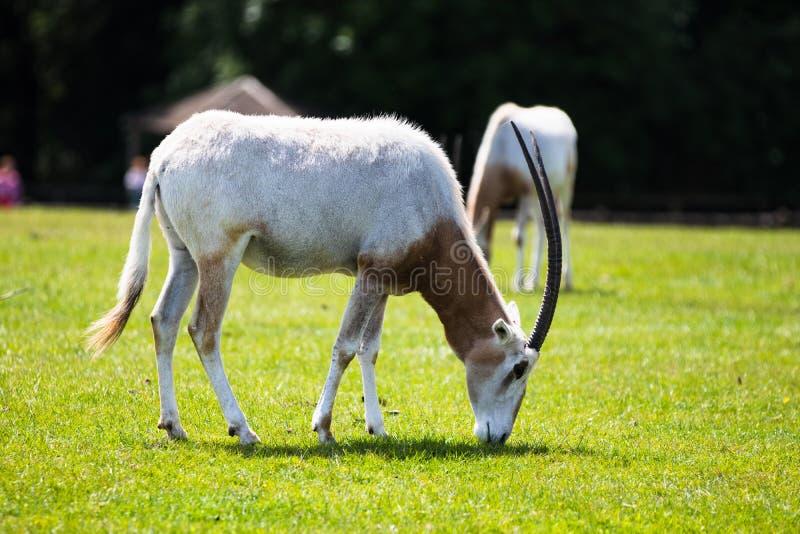 oryx Cimeterre-à cornes, appelé pour ses klaxons en forme de cimeterre magnifiques qui mesurent jusqu'à un mètre dans la longueur photos libres de droits