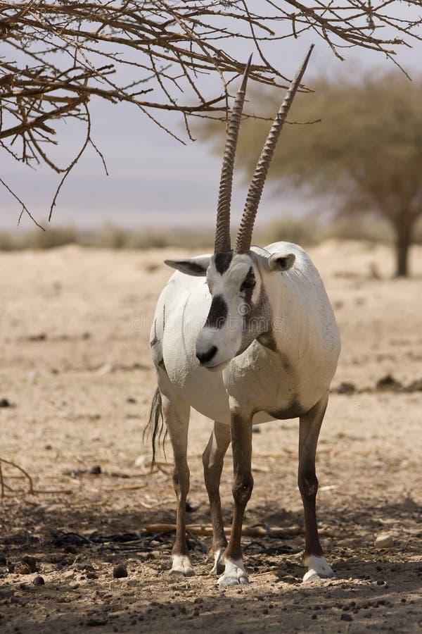 oryx d'Arabe d'antilope image stock