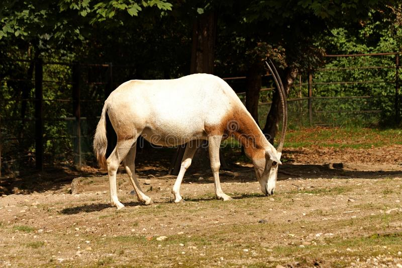 Oryx dammah stockfotos