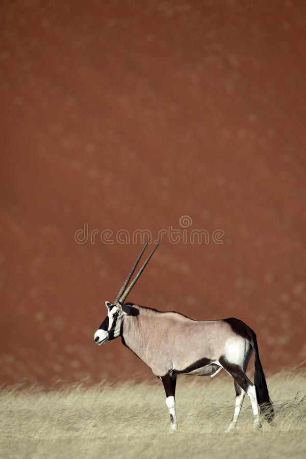 Oryx del Gemsbok por las dunas rojas del desierto de Sossusvlei fotos de archivo
